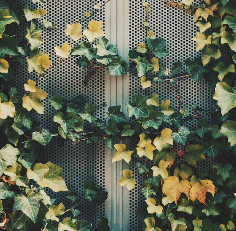 bluszcz na ogrodzeniu